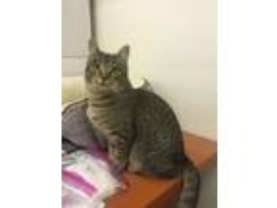 Adopt Barbara a Domestic Short Hair