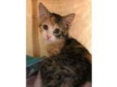Adopt Kate a Domestic Short Hair, Calico