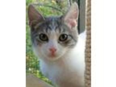 Adopt DOLLY a White (Mostly) Domestic Shorthair / Mixed (short coat) cat in