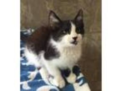 Adopt Larkspur a Black & White or Tuxedo Domestic Shorthair / Mixed cat in