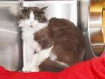 Adopt CHARON (BARN CAT) a Domestic Short Hair