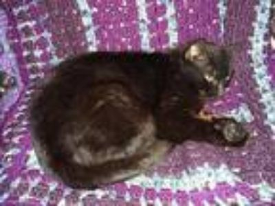 Adopt Suzie Q a All Black Domestic Shorthair (short coat) cat in Wakinsville