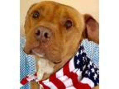 Adopt Ben a Red/Golden/Orange/Chestnut Labrador Retriever / Mixed dog in