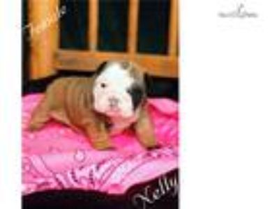 Nelly English Bulldog Puppy