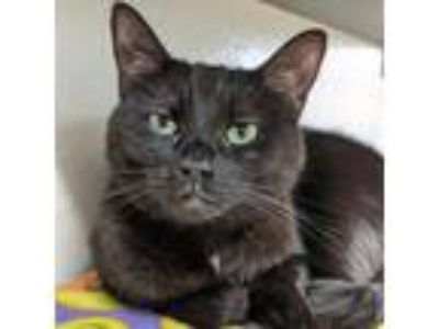 Adopt Chapman a All Black Domestic Shorthair cat in North Hollywood