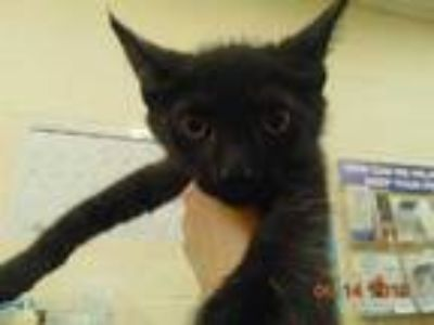 Adopt ARTHUR a All Black Domestic Shorthair / Mixed (short coat) cat in Memphis
