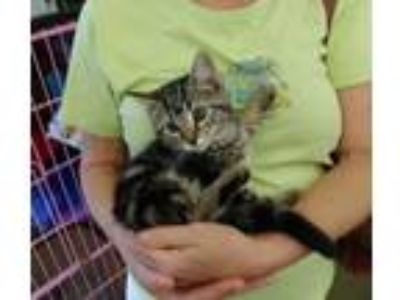 Kittens - For Sale Classified Ads in Loveland, Ohio - Claz org