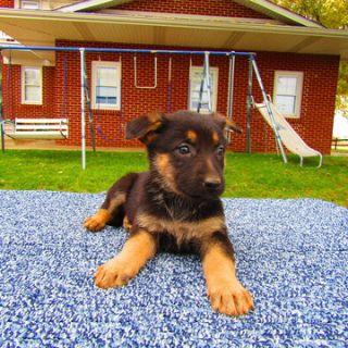 German Shepherd Dog PUPPY FOR SALE ADN-102508 - German Shepherd