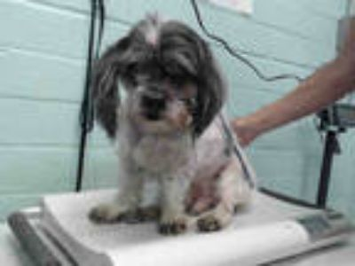 Adopt SHIGURE a White - with Black Shih Tzu / Mixed dog in Gardena