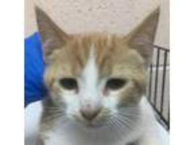 Adopt 85807 a Orange or Red Domestic Shorthair cat in Las Cruces, NM (25560001)