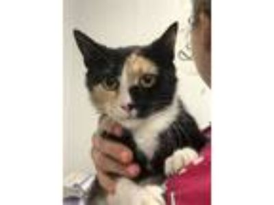 Adopt Cherry Peep a Domestic Shorthair / Mixed cat in Madison, NJ (25372517)