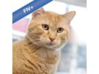 Adopt Kittens -- Bonded Buddy With Pretty Boy a Domestic Shorthair / Mixed cat