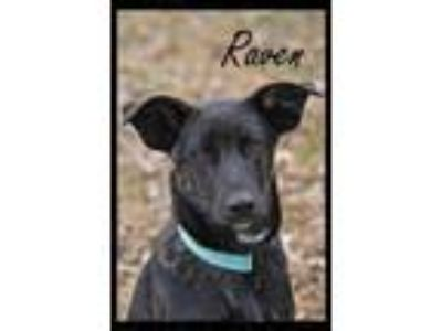 Adopt Raven a Cattle Dog, Labrador Retriever