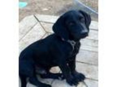 Adopt Cragen a Black Labrador Retriever / Mixed dog in Evergreen, CO (23830162)