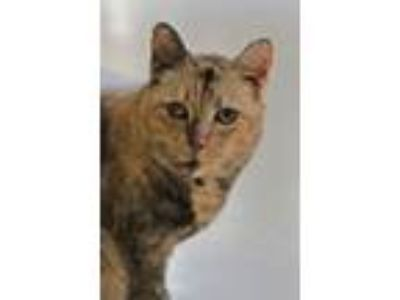 Adopt Foxy a Dilute Calico, Domestic Short Hair