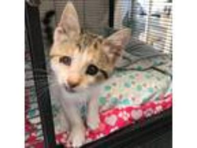 Adopt Dahlia a Calico or Dilute Calico Domestic Shorthair cat in Folsom