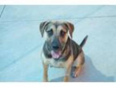 Adopt Isabelle a Shepherd, Mixed Breed
