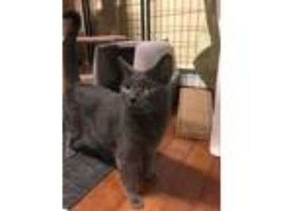 Adopt Phantom a Gray or Blue Russian Blue (short coat) cat in Ortonville