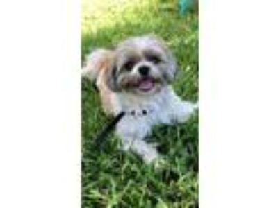 Adopt Henry James a Lhasa Apso