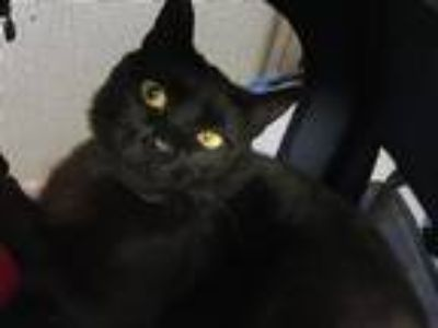 Adopt Clementine (mcas) a Domestic Shorthair / Mixed (short coat) cat in