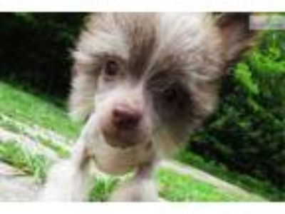 Bella AKC White Chocolate Chinese Crested Girl..!!