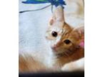 Adopt Cranberry Sauce a Domestic Short Hair