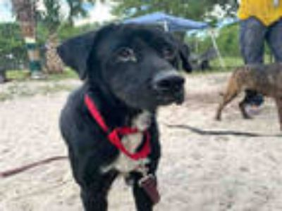 Adopt JODECI a Black - with White Labrador Retriever / Mixed dog in Fort
