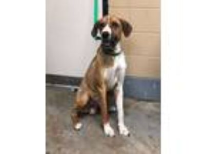Adopt Marky a Great Dane, Boxer
