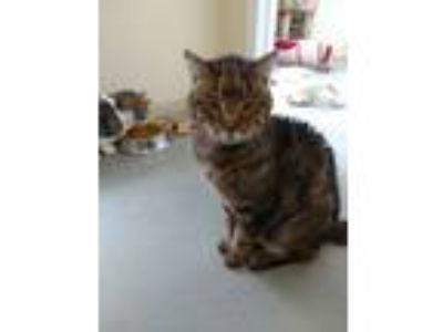 Adopt Charlie a Brown Tabby Domestic Shorthair (medium coat) cat in Huguenot
