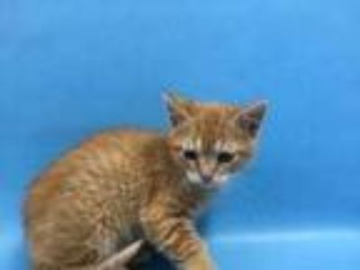 Adopt Ollie a Orange or Red Domestic Shorthair / Domestic Shorthair / Mixed cat