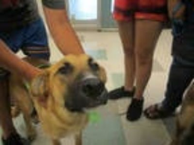 Adopt STORM a Brown/Chocolate - with White German Shepherd Dog / Mixed dog in