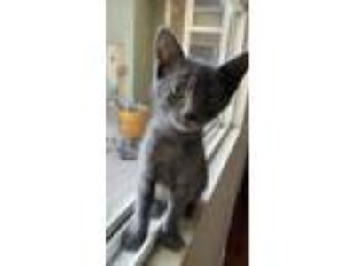 Adopt Junior a Russian Blue
