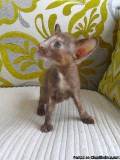 Adaptable Oriental kitten