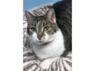 Adopt Lister a White (Mostly) Domestic Shorthair / Mixed (short coat) cat in