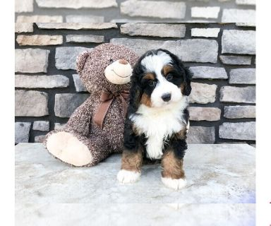 Miniature Bernedoodle PUPPY FOR SALE ADN-131023 - Chance The Mini Bernedoodle