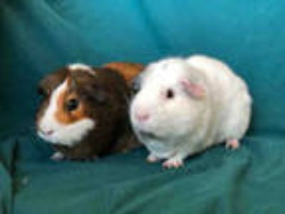 Adopt BARRY a Brown or Chocolate Guinea Pig / Mixed small animal in Urbana
