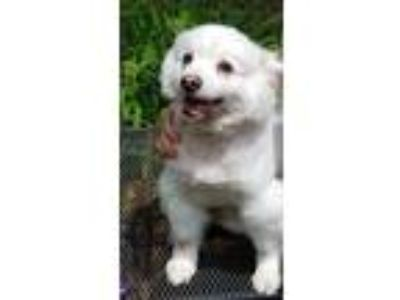 Adopt Zuffie a White American Eskimo Dog / Mixed dog in Hicksville