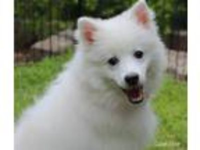 Adopt Marco a White American Eskimo Dog / Mixed dog in Bedford, VA (25264524)