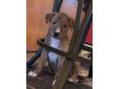 Adopt Zuli a Tan/Yellow/Fawn Collie / Mixed dog in Altoona, PA (25924622)