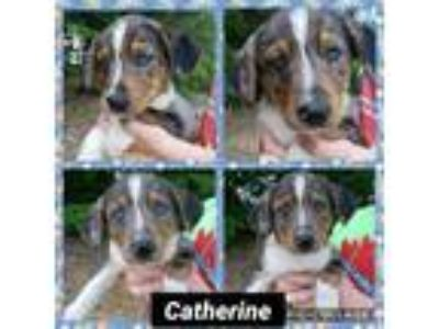 Adopt Catherine a Catahoula Leopard Dog, Australian Cattle Dog / Blue Heeler