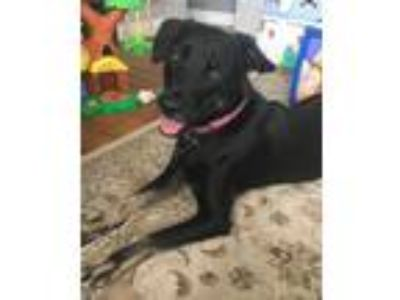 Adopt Holly a Black - with Tan, Yellow or Fawn German Shepherd Dog / Labrador