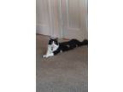 Adopt Gizmo a Black & White or Tuxedo Domestic Mediumhair / Mixed cat in Long