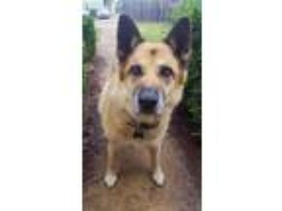 Adopt Bettye-Will you be my Hero? a Shepherd, Chow Chow