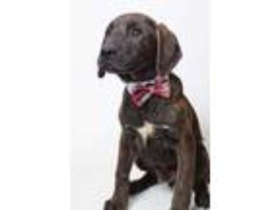 Adopt 19-372D Lincoln Loud a Brindle Labrador Retriever / Mixed dog in