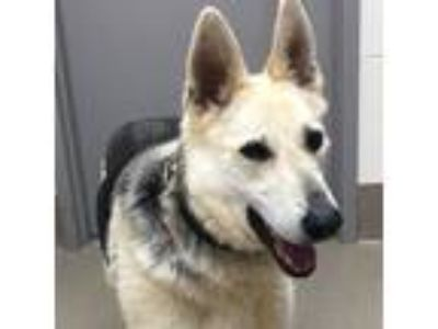 Adopt Zena a White - with Tan, Yellow or Fawn German Shepherd Dog dog in