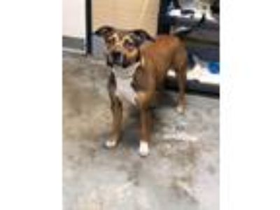 Adopt Olivia a Pit Bull Terrier