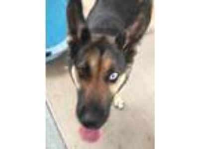 Adopt Charlie a German Shepherd Dog / Husky / Mixed dog in Logan, UT (25938272)