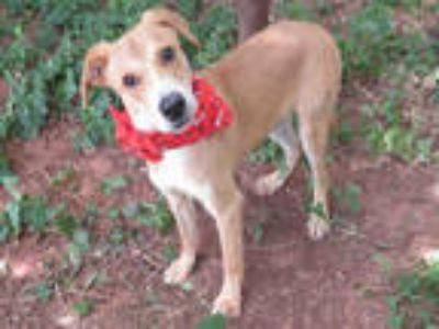 Adopt BRUTUS a Brown/Chocolate - with White Labrador Retriever / Mixed dog in