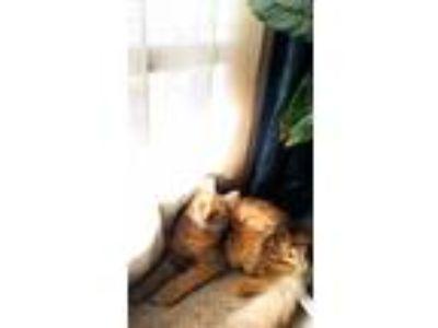 Adopt Thor a Orange or Red Domestic Mediumhair / Mixed cat in Atlanta
