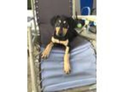 Adopt Maui a Brown/Chocolate - with Black Hound (Unknown Type) / Great Dane /